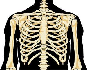 De borstkas geeft vorm aan je romp.